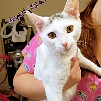 Adopt A Pet :: Angel - Tiffin, OH