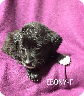 Labrador Retriever Mix Puppy for adoption in Harrisburg, Pennsylvania - Ebony