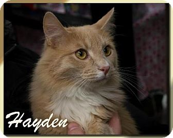 Domestic Longhair Cat for adoption in Albuquerque, New Mexico - Hayden
