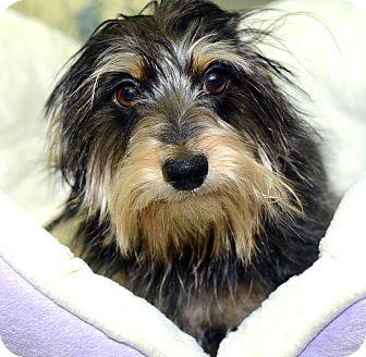 Dachshund Mix Dog for adoption in New York, New York - Alphy