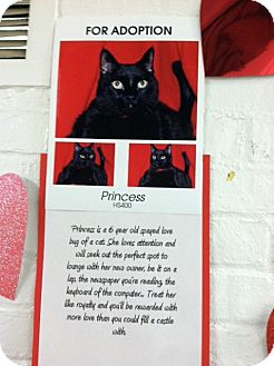 American Shorthair Cat for adoption in Whitestone, New York - Princess Sandy