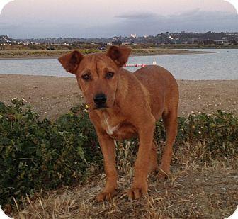 Rhodesian Ridgeback/Labrador Retriever Mix Puppy for adoption in El Cajon, California - LENA, watch me play!