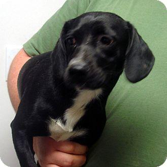 Dachshund/Beagle Mix Dog for adoption in Greencastle, North Carolina - Mr Fantastic