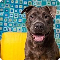 Adopt A Pet :: Clyde - Houston, TX