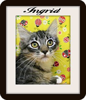 Maine Coon Kitten for adoption in Tracy, California - Ingrid
