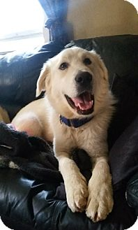 Akbash Mix Dog for adoption in Caledon, Ontario - Peter Pickles