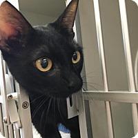 Domestic Shorthair Cat for adoption in Manteo, North Carolina - Music