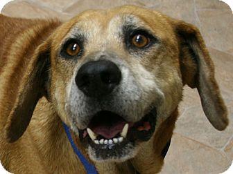 Shepherd (Unknown Type)/Hound (Unknown Type) Mix Dog for adoption in Republic, Washington - Shrek