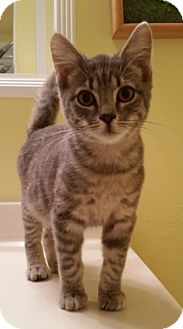Domestic Shorthair Kitten for adoption in Cat Spring, Texas - Sinclair