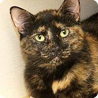 Domestic Shorthair Cat for adoption in Tulsa, Oklahoma - Sensi
