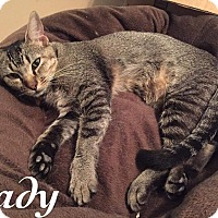 Abyssinian Cat for adoption in Wichita Falls, Texas - Lady