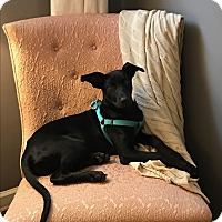 Doberman Pinscher/Labrador Retriever Mix Puppy for adoption in Marietta, Georgia - Daisy