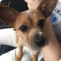 Adopt A Pet :: Priscilla - Fort Collins, CO