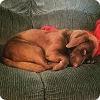 Adopt A Pet :: Teddy Bear - Baltimore, MD