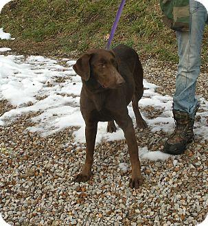 Labrador Retriever Dog for adoption in Toronto/Etobicoke/GTA, Ontario - Smilin' Dixie