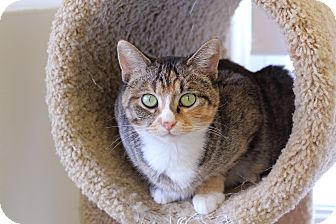 Domestic Shorthair Cat for adoption in Chicago, Illinois - Roberta