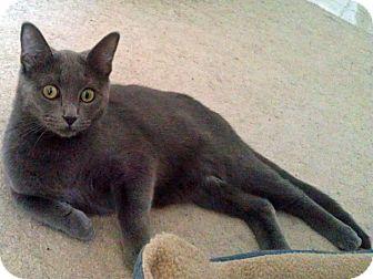 Domestic Shorthair Kitten for adoption in Mt. Prospect, Illinois - Gordy