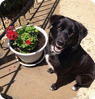 Border Collie Mix Dog for adoption in Hancock, Michigan - Hooty