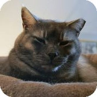 Domestic Shorthair Cat for adoption in Centreville, Virginia - Trey