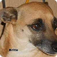 Adopt A Pet :: Brite - Arenas Valley, NM