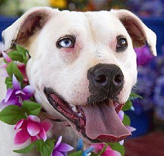 Dogo Argentino Mix Dog for adoption in Acton, California - Blue