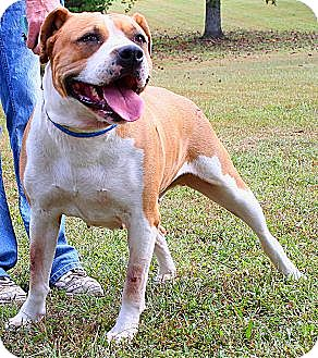 American Bulldog/Boxer Mix Dog for adoption in Kittery, Maine - Buttercup *Friend to All*