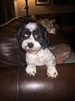 Cockapoo Mix Dog for adoption in Seattle, Washington - Hope