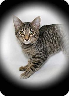 Domestic Shorthair Cat for adoption in Bradenton, Florida - Twister