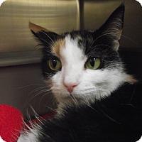 Domestic Shorthair Cat for adoption in Chambersburg, Pennsylvania - Alicia