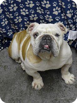 English Bulldog Dog for adoption in Santa Ana, California - Tillie
