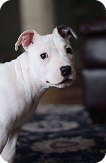 Pit Bull Terrier Mix Puppy for adoption in Toledo, Ohio - Popcorn