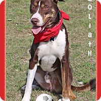 Adopt A Pet :: Goliath - Hillsboro, TX