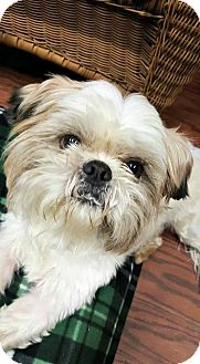 Shih Tzu Dog for adoption in Spartanburg, South Carolina - Miyagi