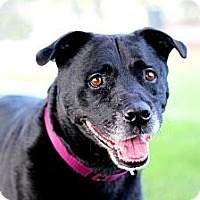 Adopt A Pet :: Java LOVES KIDS, HOUSETRAINED! - Burbank, CA