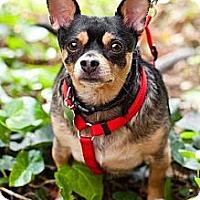 Adopt A Pet :: Stewart! Hunka burning love! - Sherman Oaks, CA