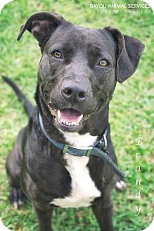Labrador Retriever Dog for adoption in Dickinson, Texas - Brandy
