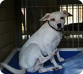 Beagle Mix Dog for adoption in Shreveport, Louisiana - Winston