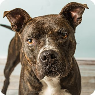Boxer/Pit Bull Terrier Mix Dog for adoption in Hendersonville, North Carolina - Gatsby