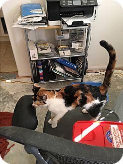 Calico Cat for adoption in Palm Springs, California - Ava
