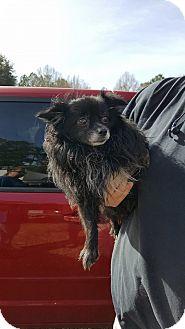 Pomeranian Mix Dog for adoption in Hammond, Louisiana - bruce