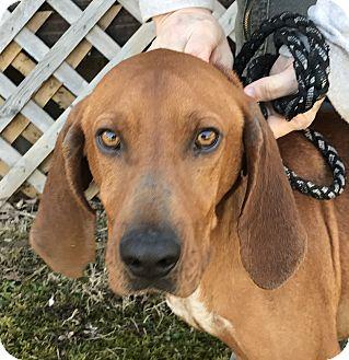 Vizsla Mix Dog for adoption in Hot Springs, Virginia - Elwood