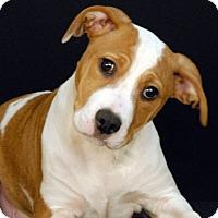 Adopt A Pet :: Bandit - Newland, NC