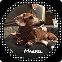 Adopt A Pet :: Marvel - Green Cove Springs, FL