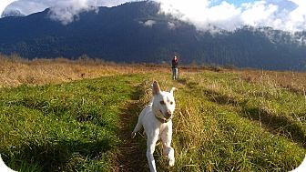 Whippet/American Eskimo Dog Mix Dog for adoption in Vancouver, British Columbia - Dennis - Needs a forever home!
