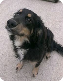 Gordon Setter/Spaniel (Unknown Type) Mix Dog for adoption in North Olmsted, Ohio - Tucker