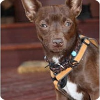 Adopt A Pet :: Cocoa Bean - Estes Park, CO