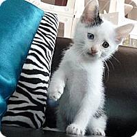 Adopt A Pet :: Percy, aka Purrcy - Madison, AL