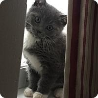 Adopt A Pet :: Mittens - Horsham, PA