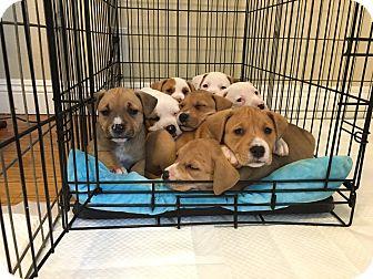 American Pit Bull Terrier/Labrador Retriever Mix Puppy for adoption in Long Beach, California - Bella's Pups