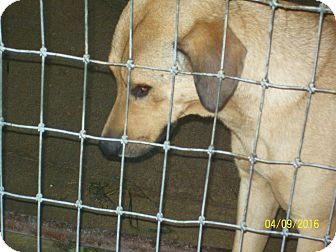 Hound (Unknown Type)/Black Mouth Cur Mix Dog for adoption in Mexia, Texas - Grace